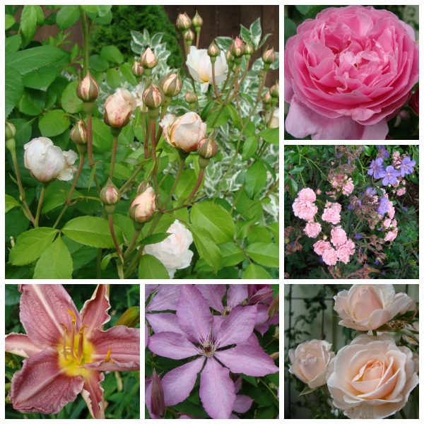 cottage garden blooms.6-13