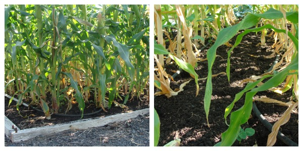 weed-free corn patch