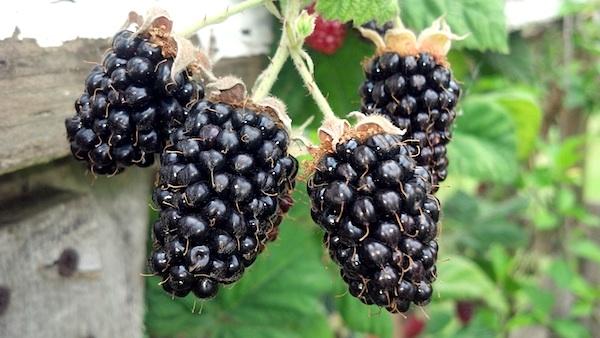 Homestead-Marionberries
