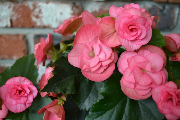 Blooming Pink Begonia :: AnOregonCottage.com