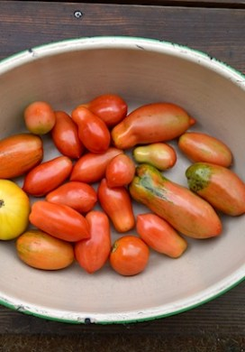 How to Easily Ripen Tomatoes at the End of The Season