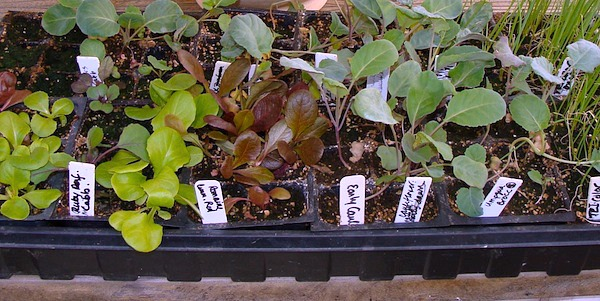Seedlings Outdoors - Seed Starting Basics :: An Oregon Cottage