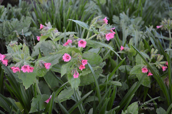 Pulmonaria-Lungwort - An Oregon Cottage