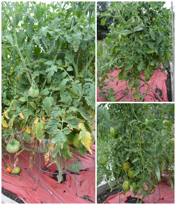 Tomatoes Fighting Early Blight - 2 wks later at An Oregon Cottage