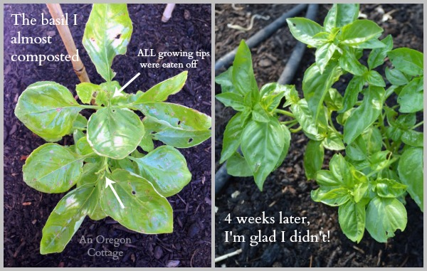 Most Bug-Eaten Basil Before and After Garlic-Mint Spray - An Oregon Cottage