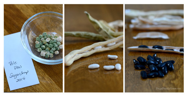 Seed Saving Peas and Beans - Frugal Family Home via An Oregon Cottage