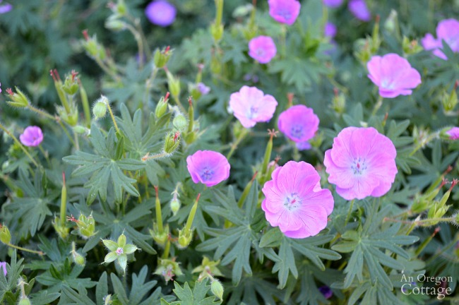 Best plants for every garden-Hardy Geranium