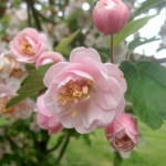 Three Things 5.07.16: Crabapple Blooms, Save by NOT Having a Sale, Food Deals
