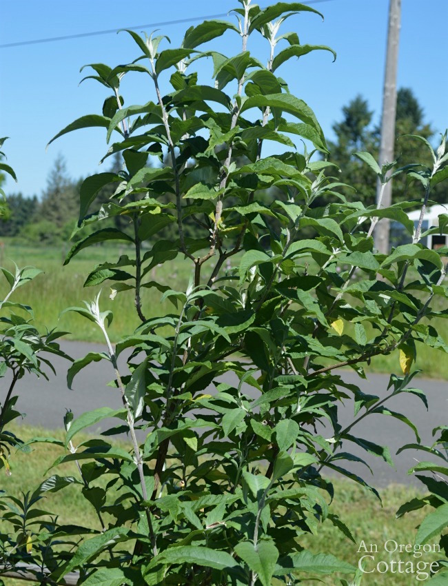 Prune shrubs with confidence-Buddleia after