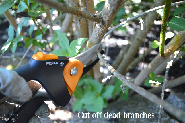 Prune shrubs with confidence-Cut off small dead branches