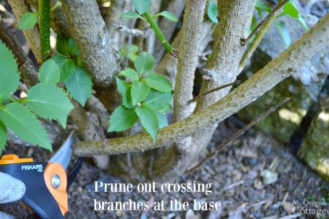 Prune shrubs with confidence-Pruning crossing branches at the base