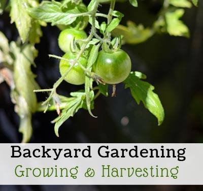 Backyard Gardening Grow & Harvest via Frugal Family Home