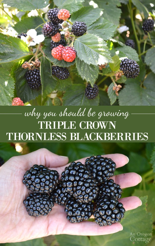 Why you should be growing Triple Crown Thornless blackberries