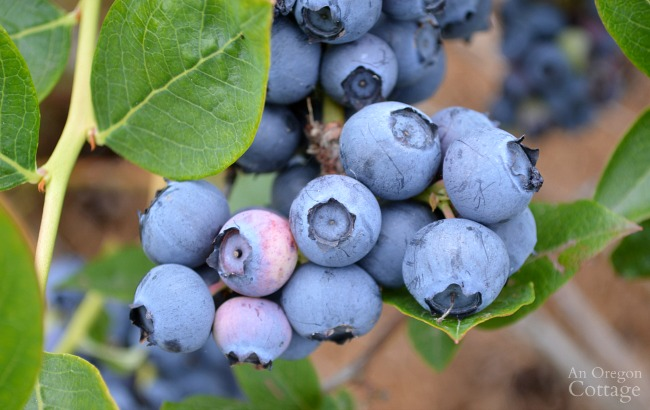 Gardening to Save Money-blueberries