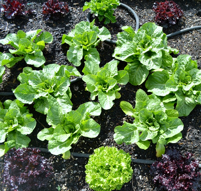 Gardening to Save Money-lettuce