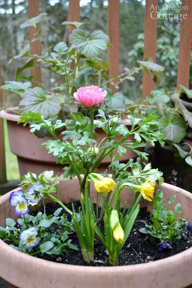 Flower pots for spring-pink ranunculus planter