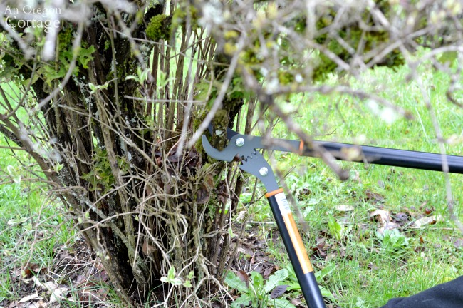 Pruning dead branches on shrubs