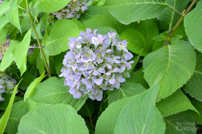 Plants for Gardening in the Shade-hydrangea
