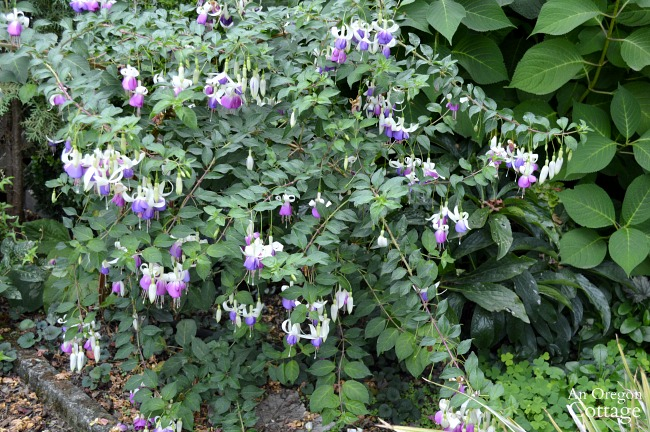 Plants for Gardening in the Shade-purple and white fuchsia