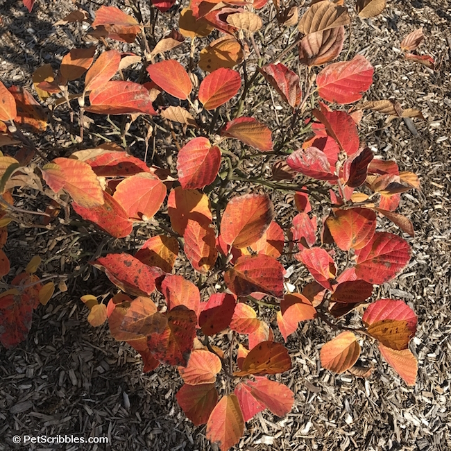Fall gardening-brilliant color in the fall garden at Pet Scribbles