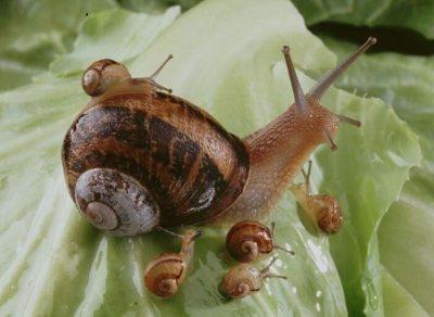 huile escargot