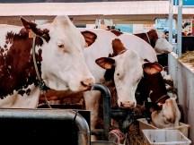 salon-de-lagriculture-dairy-cows