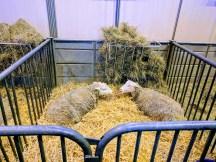 salon-de-lagriculture-sheep-mouton