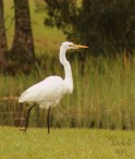 Egret On the Move