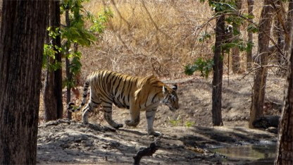 The tigress Collarwalli in Pench National Park