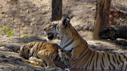 One of Collarwali's cubs arrives and drinks water in Pench National Park