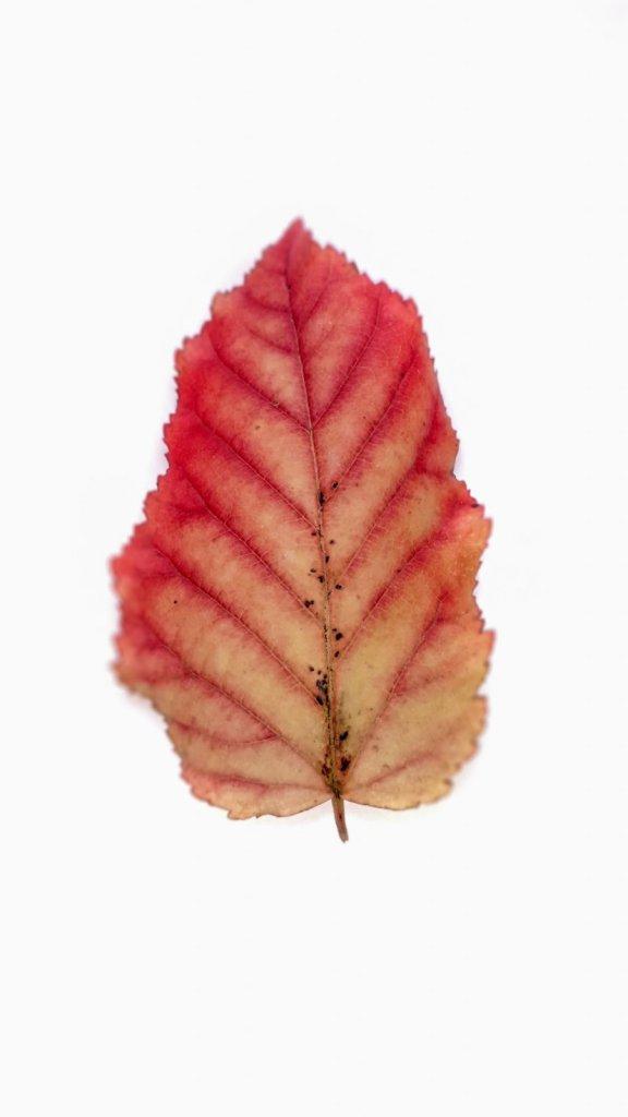 frunza rosie toamna cismigiu
