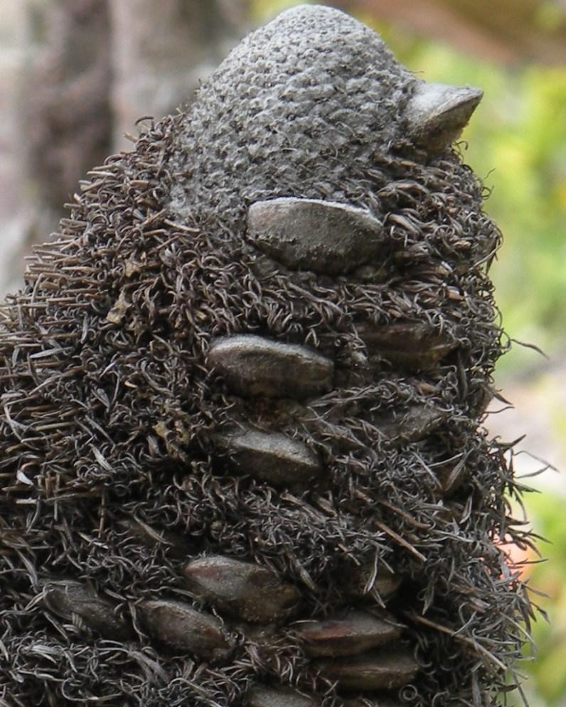 Big Bad Banksia Man