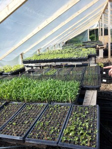 The plants get their start here in the greenhouse.