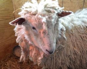 Little Lamb 199