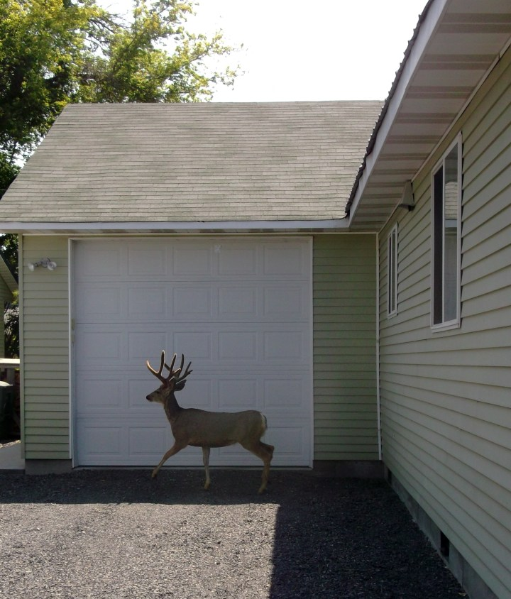 buck deer at neighbor's home