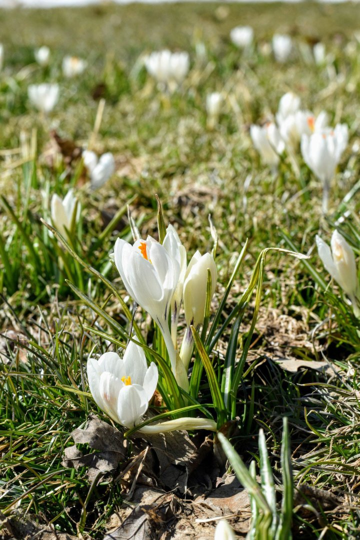 Ode to the field of crocuses that made my day