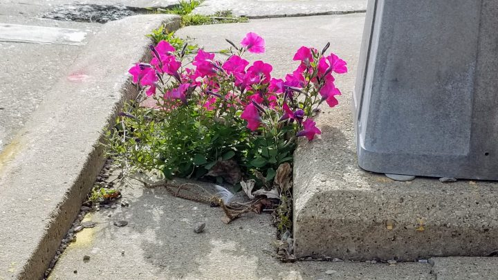 Unlikely petunias