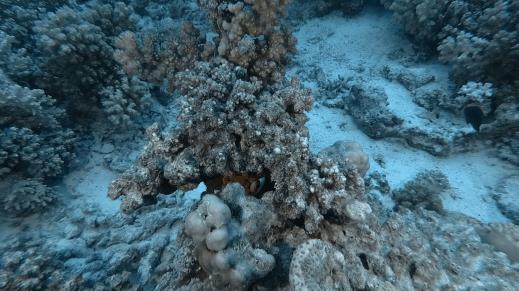 Shy clownfish