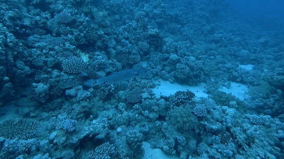 Barracuda being cleaned by a cleaner wrasse (purple thing near its head)
