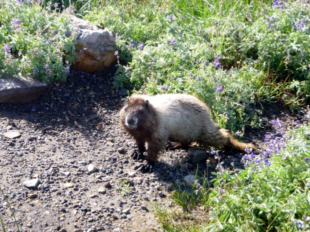 A marmot next to the trail, Skyline Loop Trail, Mount Rainier National Park, WA