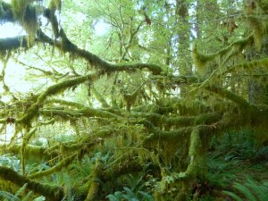 Spikemoss on branches, Hall of Mosses Trail, Hoh Rainforest, Olympic National Park