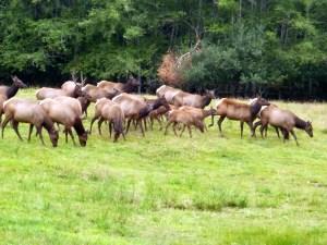 Elk herd grazing, Olympic National Park