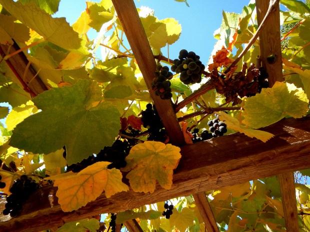 Grapes on trellis, Mission San Luis Obispo, California