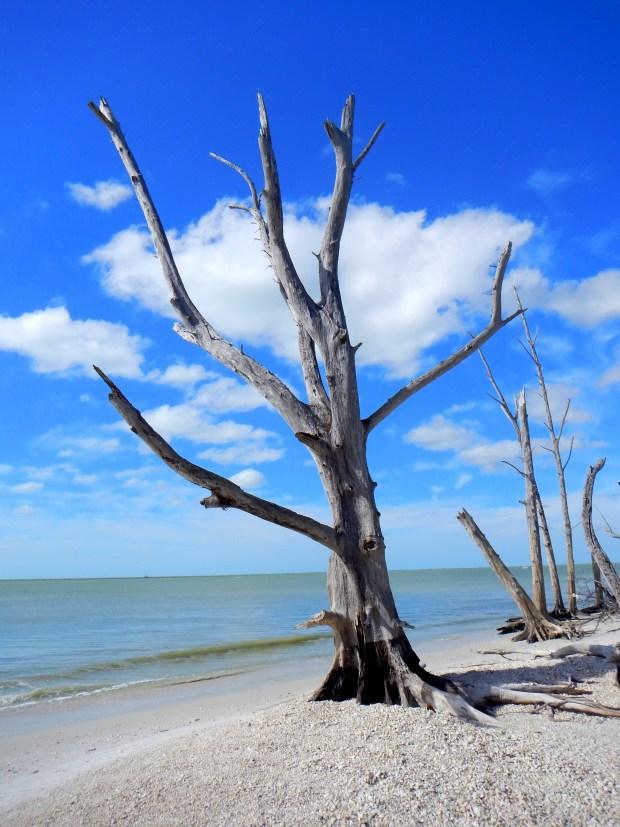 Dead tree, Lovers Key State Park, Florida