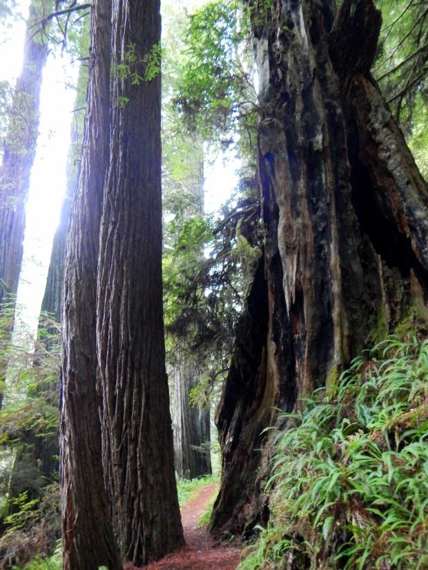 Moorman Grove Trail, Prairie Creek State Park, California