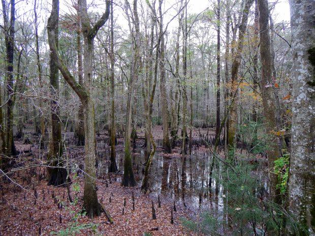 Chipola River floodplains from the bluff, Bluff Trail, Florida Caverns State Park, Florida