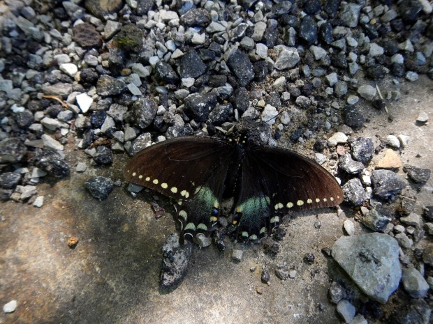 Beautiful butterfly on the Natural Arch Trail, Big South Fork National Recreation Area, Kentucky
