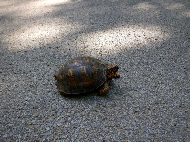 Turtle rescue on the road, Big South Form National Recreation Area, Kentucky