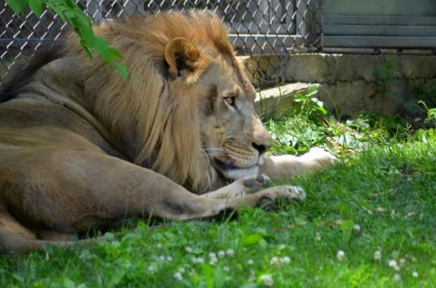 Lion, Philadelphia Zoo, Philadelphia, Pennsylvania (Picture by Tina)