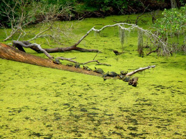 Turtles sunning on a log, Airlie Gardens, Wilmington, North Carolina